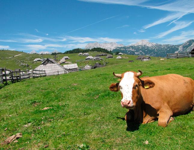 Velika-Planina-Cow